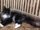 Кошки, котята Мэйн-кун, цена 4000 Грн., Фото
