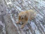 Собаки, щенки Той-пудель, цена 500 Грн., Фото
