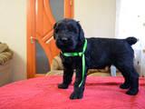 Собаки, щенки Черный терьер, цена 6000 Грн., Фото