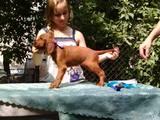 Собаки, щенки Ирландский сеттер, цена 1500 Грн., Фото