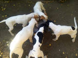 Собаки, щенки Английский пойнтер, цена 4500 Грн., Фото