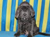 Собаки, щенки Мастино неаполетано, цена 9200 Грн., Фото