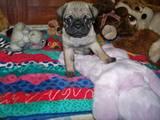 Собаки, щенята Мопс, ціна 3000 Грн., Фото