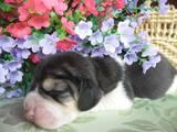 Собаки, щенята Бігль, ціна 7500 Грн., Фото