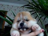 Собаки, щенки Акита-ину, цена 27000 Грн., Фото