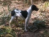 Собаки, щенята Англійський пойнтер, ціна 2000 Грн., Фото