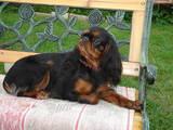 Собаки, щенки Кавалер-Кинг-Чарльз спаниель, цена 2509 Грн., Фото