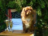 Собаки, щенята Американський коккер, ціна 2499 Грн., Фото