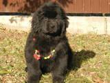 Собаки, щенки Ньюфаундленд, цена 7000 Грн., Фото