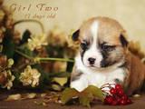 Собаки, щенята Вельш коргі пемброк, ціна 20000 Грн., Фото