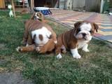 Собаки, щенки Английский бульдог, цена 3000 Грн., Фото