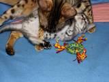 Кішки, кошенята Бенгальськая, ціна 3000 Грн., Фото