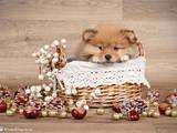 Собаки, щенки Карликовый шпиц, цена 40000 Грн., Фото