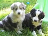 Собаки, щенята Бордерколлі, ціна 3500 Грн., Фото