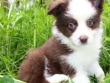 Собаки, щенята Бородатий коллі, ціна 3000 Грн., Фото