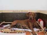 Собаки, щенята Родезійського ріджбек, ціна 15000 Грн., Фото
