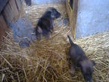 Собаки, щенята Гладкошерста фокстер'єр, ціна 350 Грн., Фото