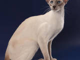 Кішки, кошенята Орієнтальна, ціна 3000 Грн., Фото