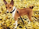 Собаки, щенки Басенджи, цена 0.10 Грн., Фото