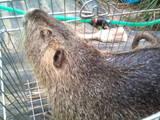 Тваринництво Хутрова тваринництво, ціна 80 Грн., Фото