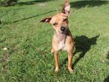Собаки, щенки Карликовый пинчер, цена 1000 Грн., Фото