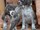 Собаки, щенята Німецька жорсткошерста лягава, ціна 11 Грн., Фото
