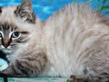 Кошки, котята Невская маскарадная, цена 400 Грн., Фото