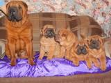 Собаки, щенки Шарпей, цена 2500 Грн., Фото