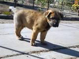 Собаки, щенки Восточно-Европейская овчарка, цена 800 Грн., Фото