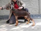 Собаки, щенки Доберман, цена 8000 Грн., Фото