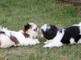 Собаки, щенки Ши-тцу, цена 5500 Грн., Фото