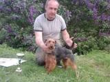 Собаки, щенята Вельштер'єр, ціна 3500 Грн., Фото