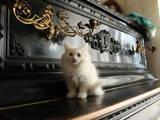 Кішки, кошенята Турецька Ангора, ціна 250 Грн., Фото