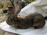 Гризуни Кролики, ціна 1500 Грн., Фото