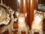 Кішки, кошенята Абіссінська, ціна 12000 Грн., Фото