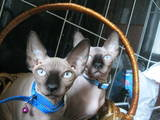 Кішки, кошенята Канадський сфінкс, ціна 2500 Грн., Фото