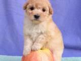 Собаки, щенки Той-пудель, цена 3500 Грн., Фото