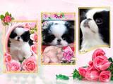 Собаки, щенки Японский хин, цена 10000 Грн., Фото