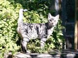 Кішки, кошенята Бенгальськая, ціна 9990 Грн., Фото