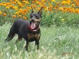 Собаки, щенки Пинчер, цена 3500 Грн., Фото