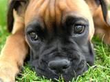 Собаки, щенки Бульмастиф, Фото