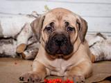 Собаки, щенки Южноафриканский бурбуль, цена 20000 Грн., Фото