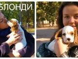 Собаки, щенки Кавалер-Кинг-Чарльз спаниель, цена 13000 Грн., Фото