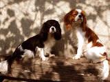 Собаки, щенята Кавалер-кинг-чарльз спаніель, ціна 13000 Грн., Фото