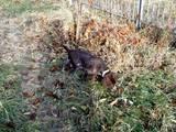 Собаки, щенки Немецкая гладкошерстная легавая, цена 2000 Грн., Фото