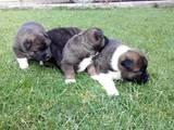 Собаки, щенки Американский акита, цена 10000 Грн., Фото