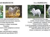 Собаки, щенята Самоїдом, ціна 9000 Грн., Фото