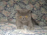 Кішки, кошенята Екзотична короткошерста, ціна 2500 Грн., Фото