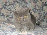 Кошки, котята Экзотическая короткошерстная, цена 2500 Грн., Фото