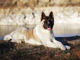 Собаки, щенки Американский акита, Фото